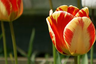 Another yellow/red tulip