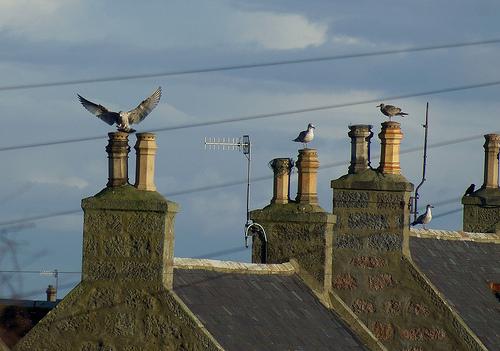 herring gull pretends to be eagle.